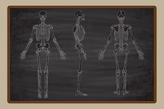 Mänsklig skelett- svart tavlateckningsvektor vektor illustrationer