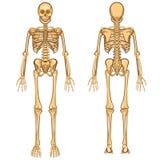 Mänsklig skelett- vektorillustration Royaltyfria Bilder