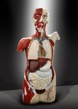 mänsklig torso arkivbild