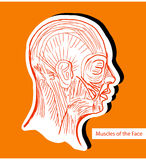Mänskliga anatomiemuskler av framsidan (ansikts- muskler) - läkarundersökning Il Royaltyfri Fotografi