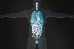 Mänskliga anatomiinälvor in röntgenstråle-som sikt Arkivfoto