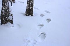 Mänskliga fotspår i vinterbjörkskogen i snön arkivbild