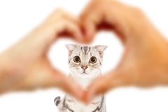 Mänskliga händer gör hjärta att forma och den gulliga katten royaltyfri foto