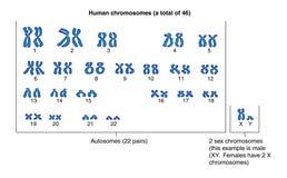 mänskliga kromosomer stock illustrationer