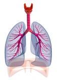 Mänskliga lungor och luftrör som isoleras Arkivbilder