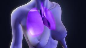 mänskliga lungs arkivfoton