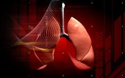 mänskliga lungs Arkivbilder