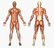 mänskliga male muskler för anatomi Royaltyfria Bilder