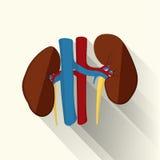 Mänskliga njure sänker royaltyfri illustrationer