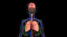 mänskliga organ royaltyfri fotografi