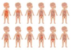 Mänskliga organ, barnanatomi Royaltyfri Bild