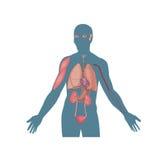 Mänskliga organ, hjärta, blod, lungor Arkivbild