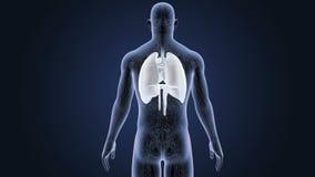 Mänskliga organ hjärta, lungor och membran med det cirkulations- systemet stock illustrationer