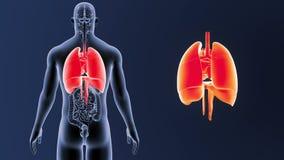 Mänskliga organ hjärta, lungor och membran zoomar med organ stock video