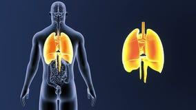 Mänskliga organ hjärta, lungor och membran zoomar med organ arkivfilmer