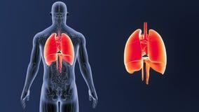 Mänskliga organ hjärta, lungor och membran zoomar med anatomi stock video