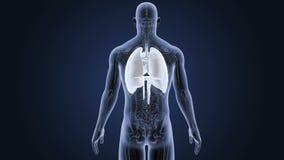 Mänskliga organ hjärta, lungor och membran zoomar med anatomi arkivfilmer