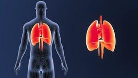 Mänskliga organ hjärta, lungor och membran zoomar med det cirkulations- systemet arkivfilmer