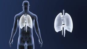 Mänskliga organ hjärta, lungor och membran zoomar med det cirkulations- systemet lager videofilmer