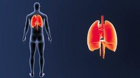 Mänskliga organ hjärta, lungor och membran zoomar med kroppen lager videofilmer
