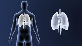 Mänskliga organ hjärta, lungor och membran zoomar med kroppen stock illustrationer