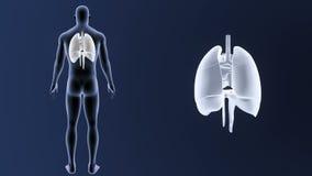 Mänskliga organ hjärta, lungor och membran zoomar med kroppen arkivfilmer