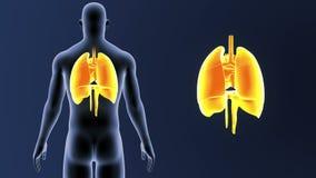 Mänskliga organ hjärta, lungor och membran zoomar med kroppen vektor illustrationer