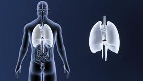 Mänskliga organ hjärta, lungor och membran zoomar med sammanlagda organ stock video