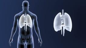 Mänskliga organ hjärta, lungor och membranzoom med den skelett- kroppen lager videofilmer