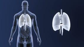 Mänskliga organ hjärta, lungor och membranzoom med den skelett- kroppen arkivfilmer