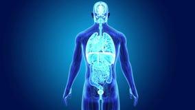 Mänskliga organ med anatomi stock illustrationer