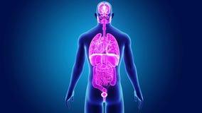 Mänskliga organ med kroppen royaltyfri illustrationer