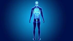Mänskliga organ med kroppen vektor illustrationer