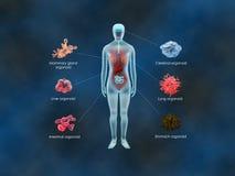 Mänskliga organoids Arkivfoto
