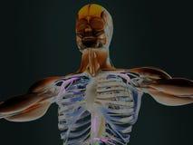 Mänskliga torsovisningmuskler och artärer Royaltyfri Bild