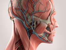 Mänskligt anatomivisningframsida och huvud Royaltyfri Foto