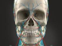 Mänskligt anatomivisninghuvud, ögon, näsa, framsida på ljus bakgrund Royaltyfri Foto