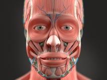 Mänskligt anatomivisninghuvud, näsa, framsida Royaltyfria Foton
