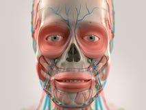 Mänskligt anatomivisninghuvud, näsa, framsida Royaltyfria Bilder