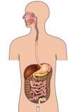 Mänskligt digestivkexsystem. Människokroppanatomi. Arkivbild