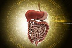 Mänskligt digestivkexsystem med stock illustrationer