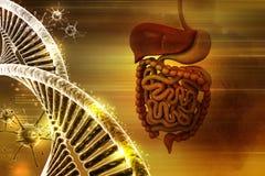 Mänskligt digestivkexsystem med dna och viruset stock illustrationer
