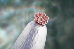 mänskligt embryo 16-cell på en visarspets royaltyfria foton
