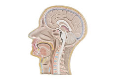 Mänskligt huvud en hals Fotografering för Bildbyråer