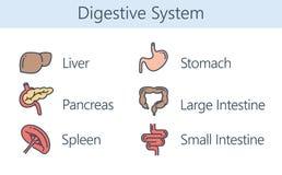 Mänskligt inre organ om digestivkexsystem Arkivfoto