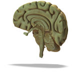 mänskligt profilavsnitt för hjärna Royaltyfri Foto