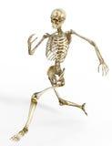 mänskligt running skelett Arkivbild