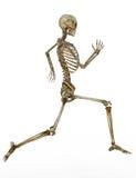 mänskligt running skelett Royaltyfri Foto