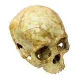 Mänskligt skallebrott (den bästa den mongoloida, sidan, toppen) (, asiat) på isolerat Arkivbilder