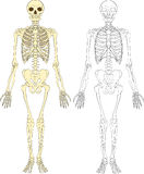mänskligt skelett Royaltyfria Bilder